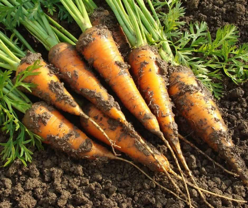 Best fall vegetables to plant in your garden for your victory garden. gardening, garden tips, autumn gardening, fall vegetable gardening, gardening in the fall